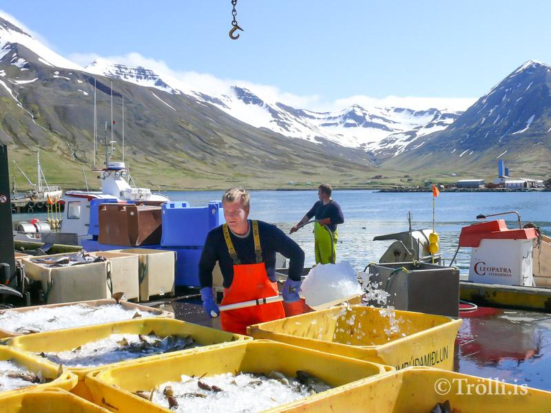 Aflaaukning á milli ára í Fjallabyggð