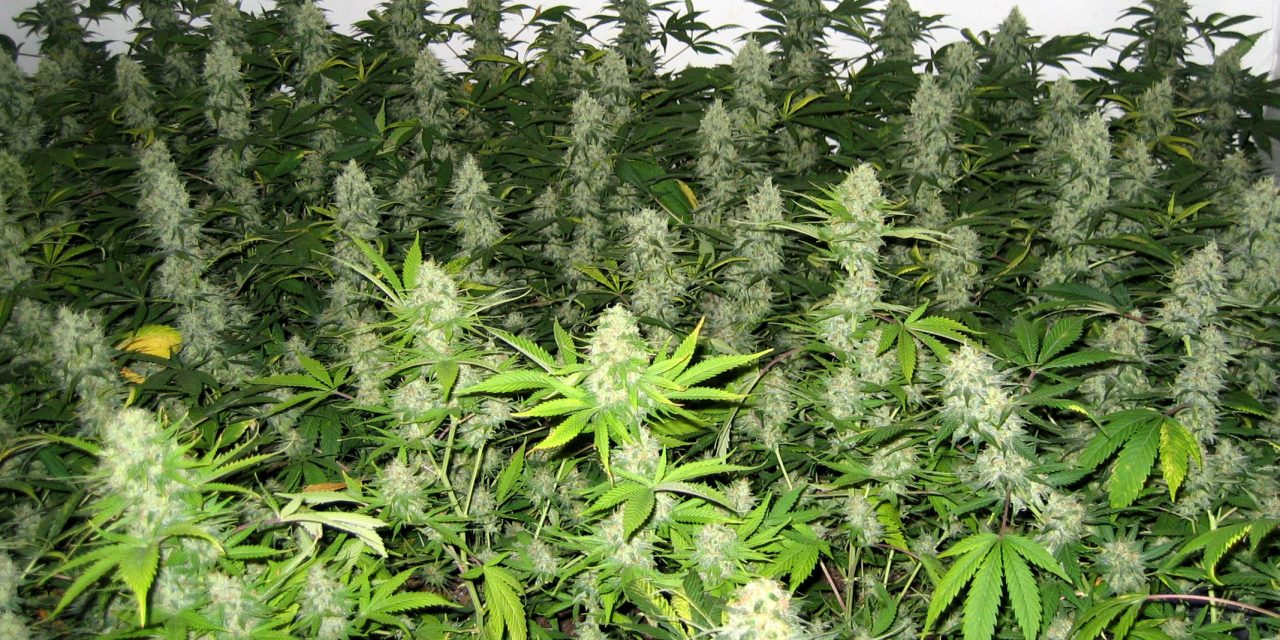 Kannabisræktun á Skagaströnd