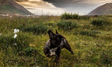 Kóprabjalla og lirfur í Hills hundafóðri