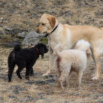 Uppbygging hundasvæða í Fjallabyggð