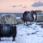 Fjallabyggð endurskoðar samþykktir um búfjárhald