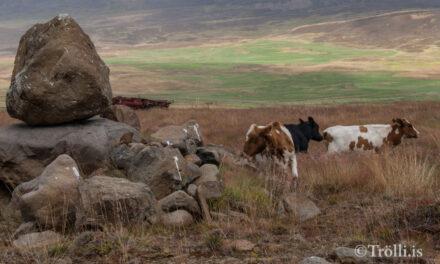 Dreifing mjólkur frá kúabúi í Hörgársveit stöðvuð